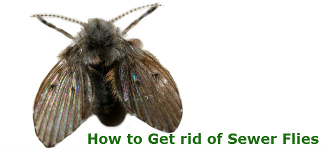 Sewer Flies: How to get rid of sewer flies?