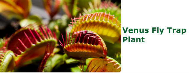 Venus Fly Trap How To Grow Venus Fly Trap In Terrariums
