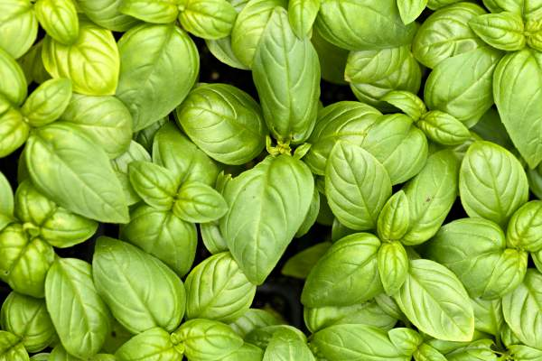 Basil for cockroach bites