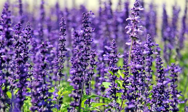 Lavender to repel roaches
