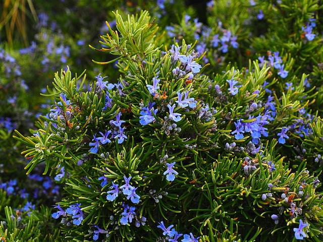 Rosemary for cockroaches