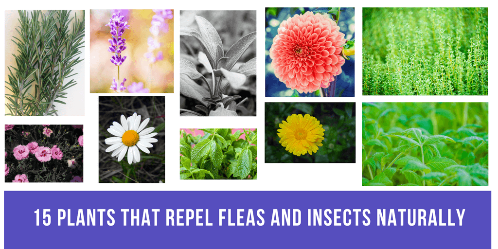 plants that repel fleas naturally