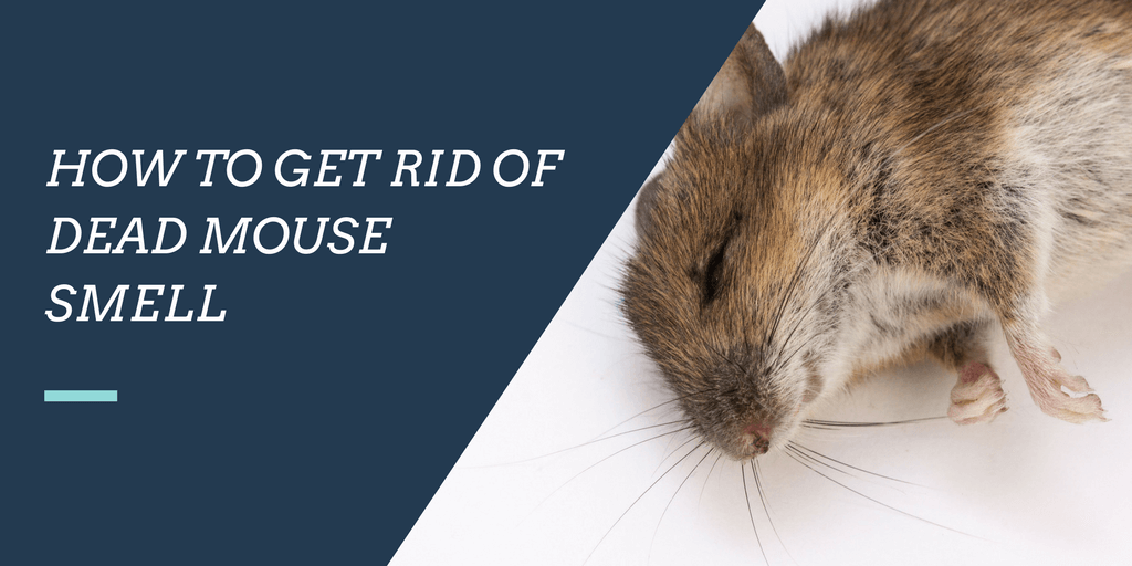 How to get rid of dead mouse smell